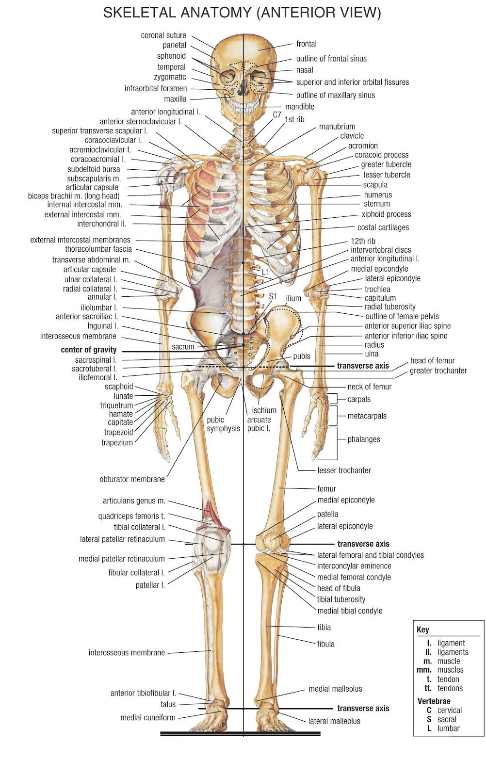 Skeleton Bones Anatomy And Physiology